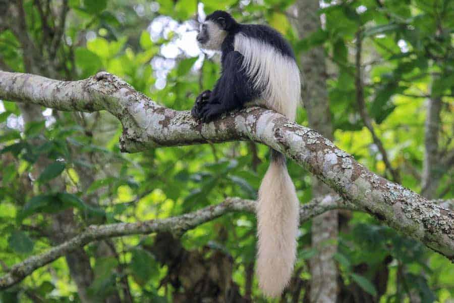 Colobus monkey Arusha Villa