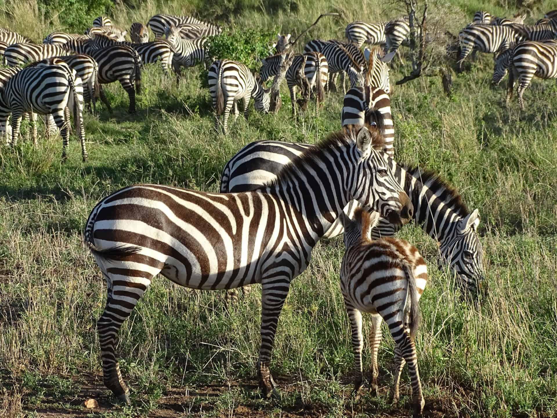 Groep zebra's
