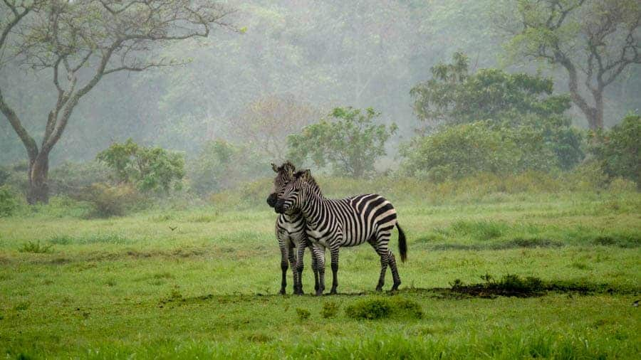 Zebras in Arusha National Park met Good Safari