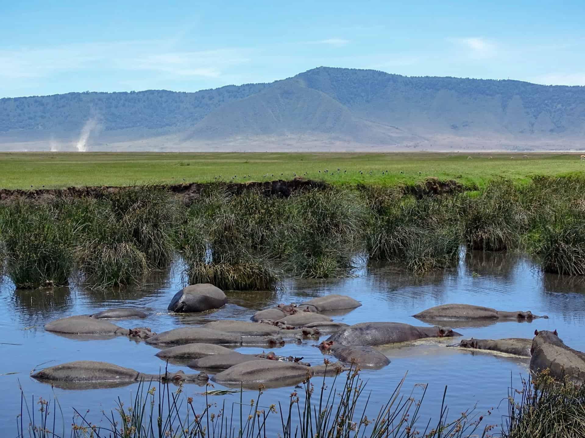 nijlpaarden in poel met krater op achtergrond