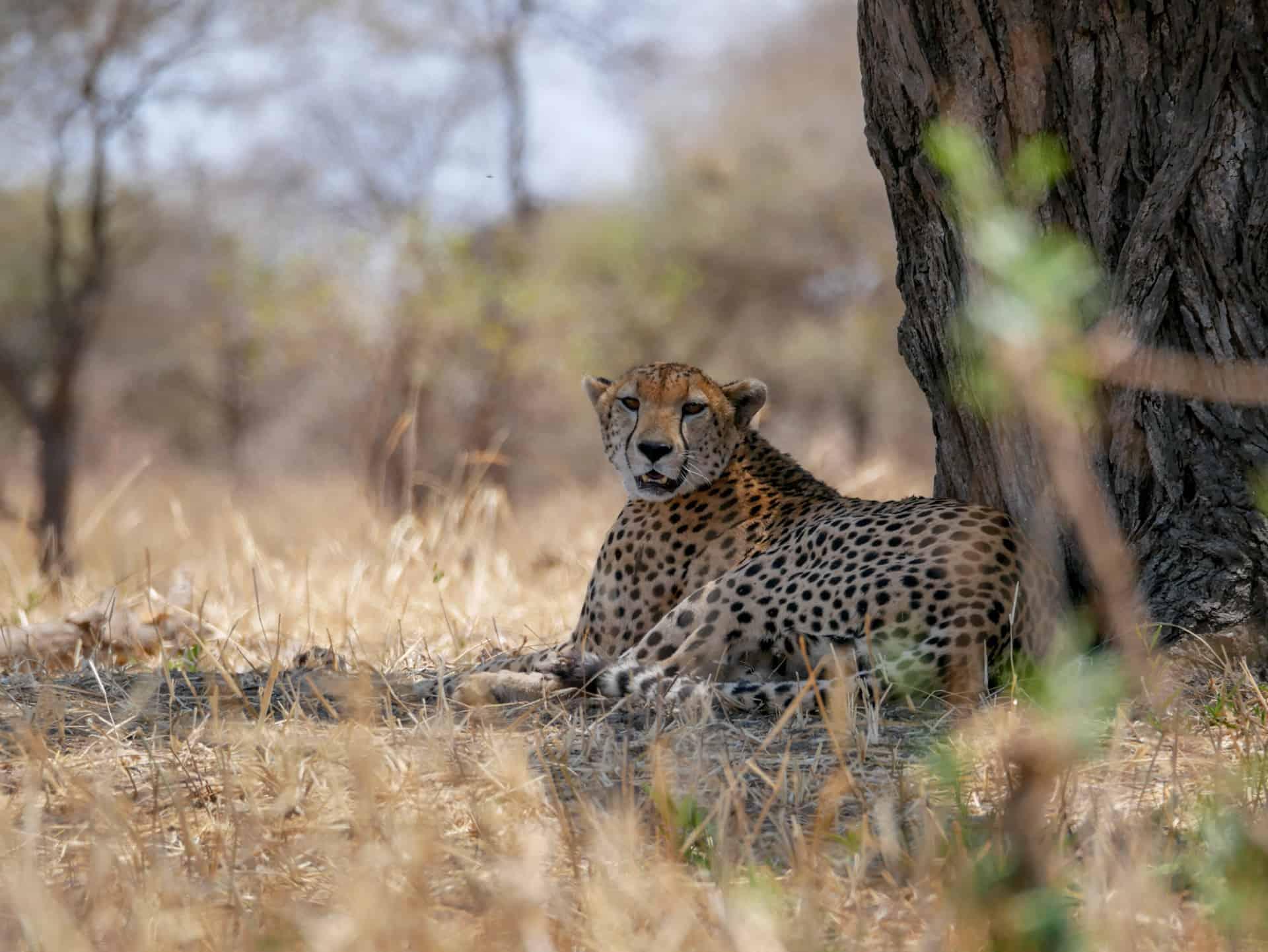 Good Safari cheeta
