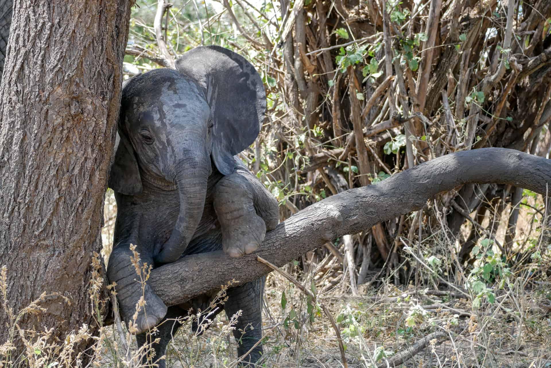 Tarangire olifant doet nog een circus truc