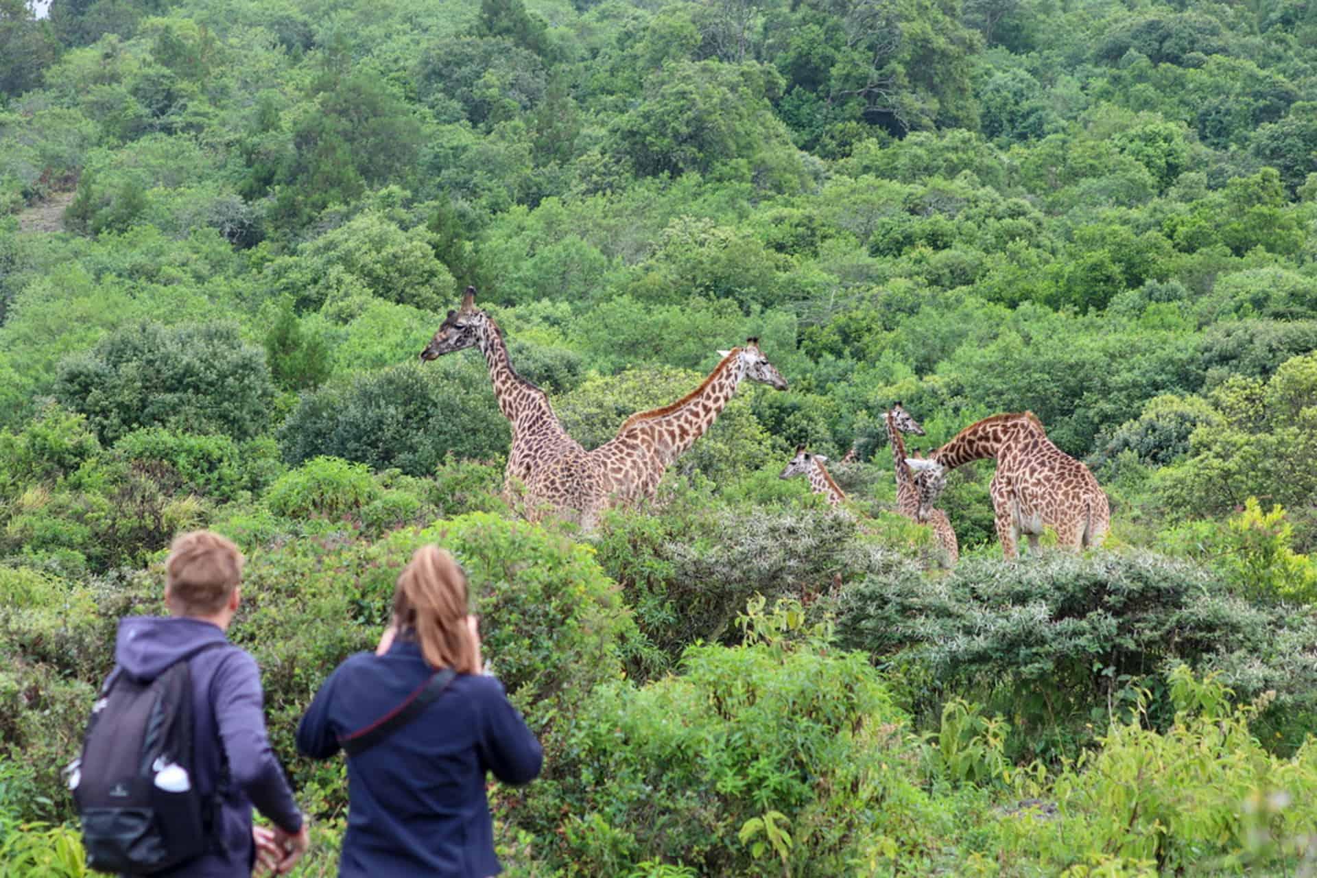 wandelen ANP giraffes