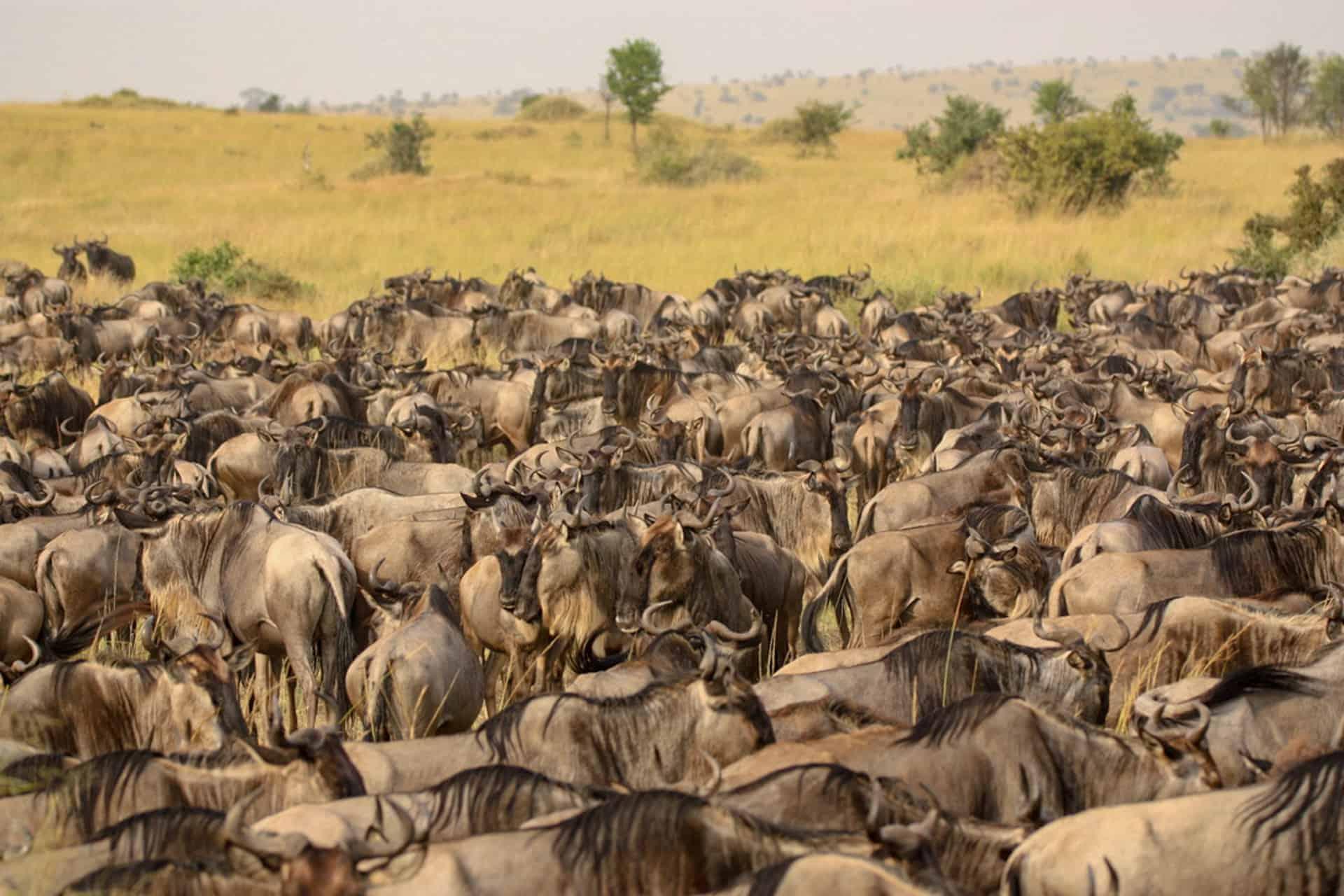 wildebeest groep_