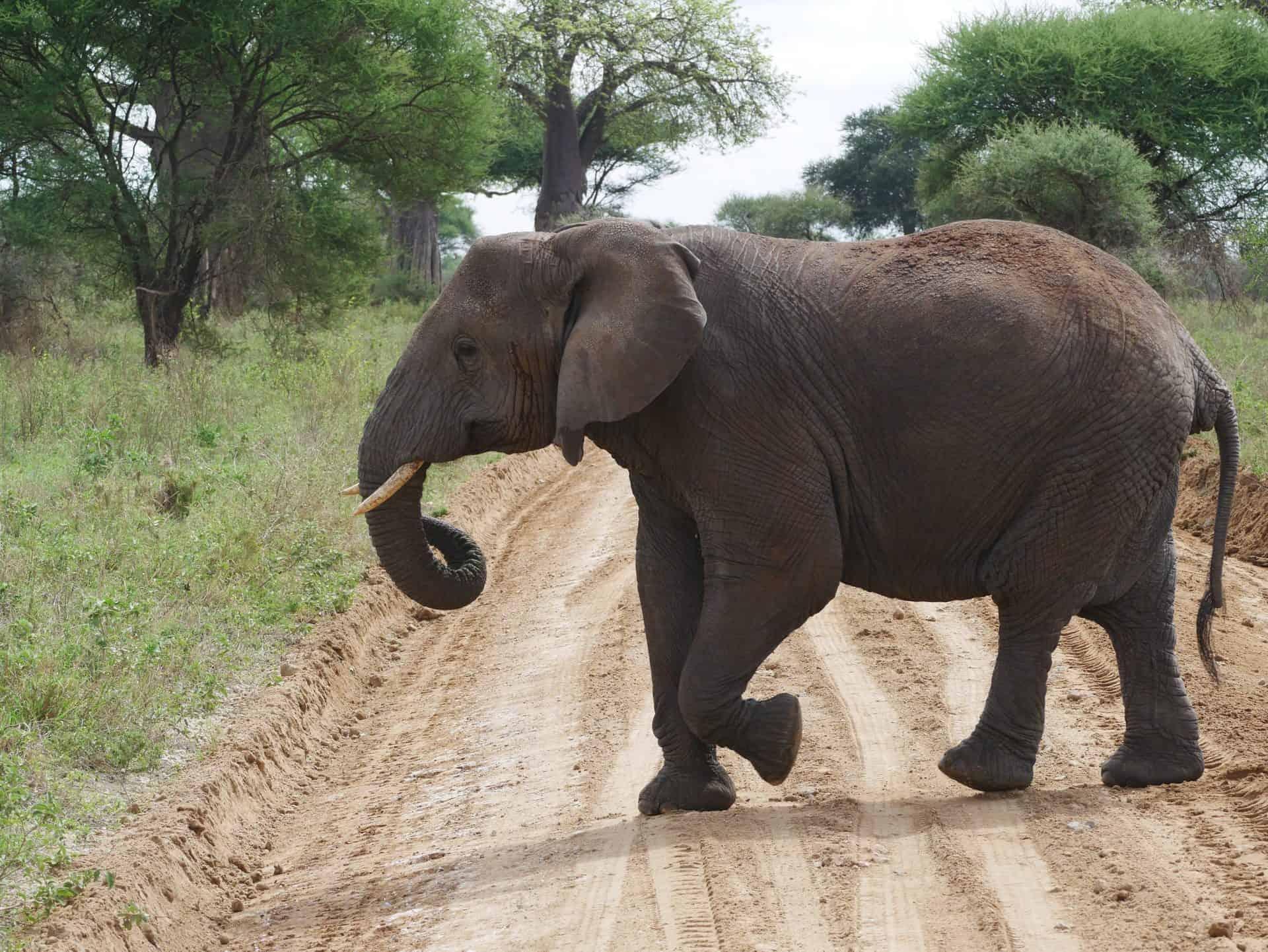 olifant Tarangire Good Safari